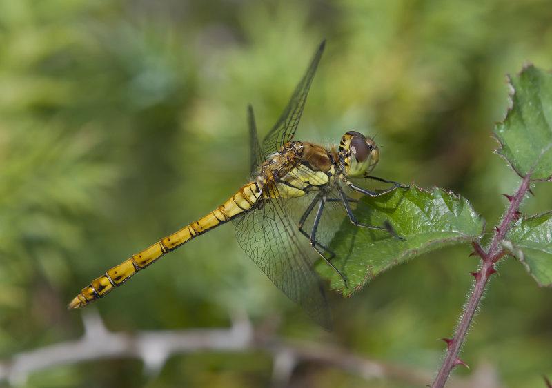 Common-Darter-female