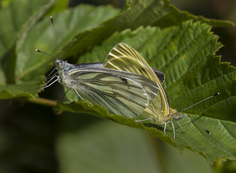 Green-veined-Whites