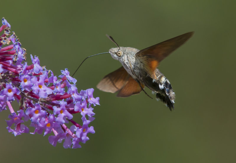 Humming-bird-Hawkmoth