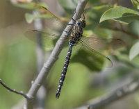 Common-Hawker-male