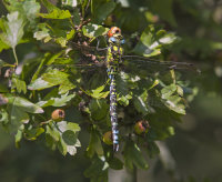 Southern-Hawker-male