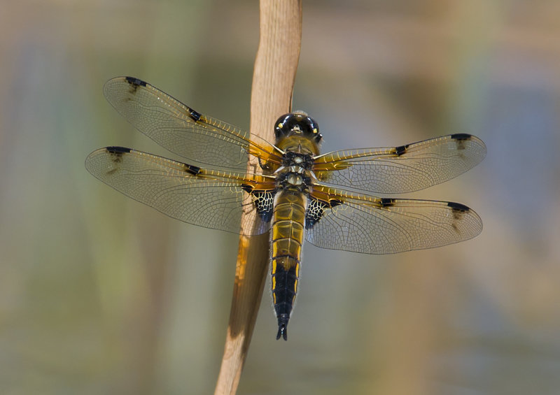 Four-spotted-Chaser