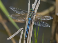 Emperor-Dragonfly-male