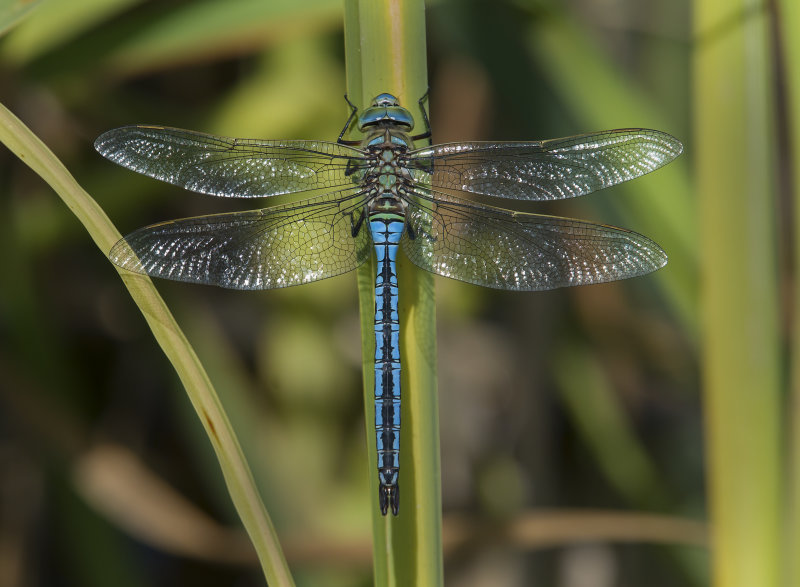 Emperor-Dragonfly- male