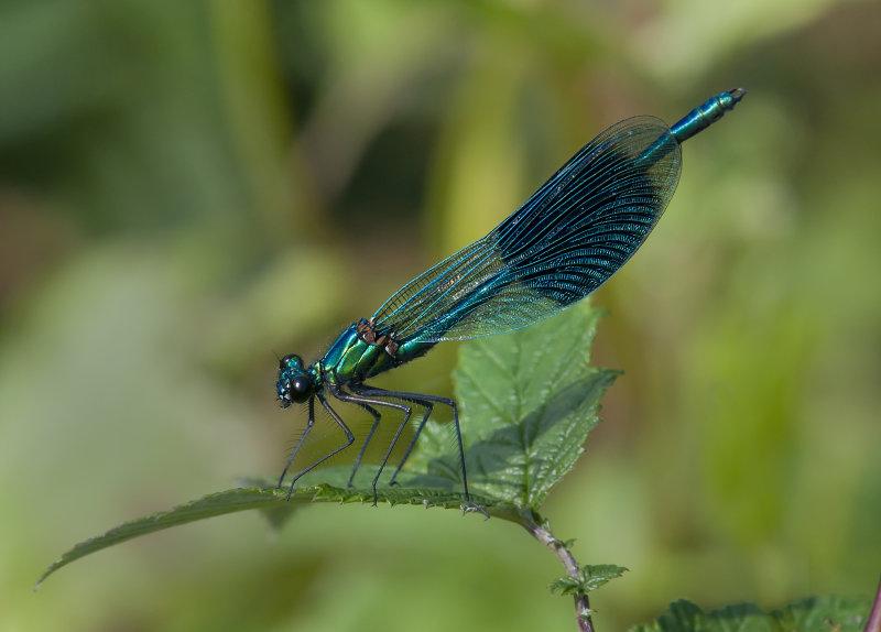 Banded-Demoiselle-male