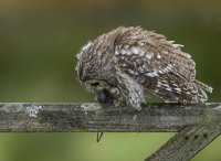 Tawney-Owl