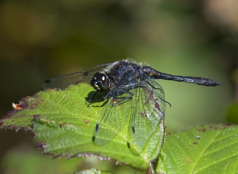 Black-Darter-male