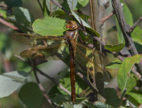 Brown-Hawker-female