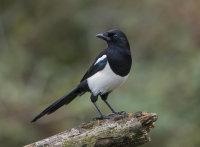 Magpie-juvenile