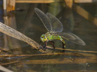 Emperor-Dragonfly-female