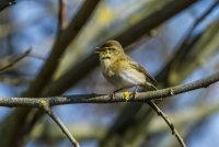 Willow-Warbler