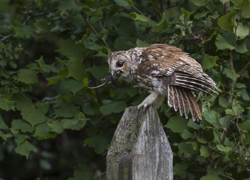 Tawny-Owl