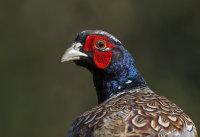 Pheasant-male