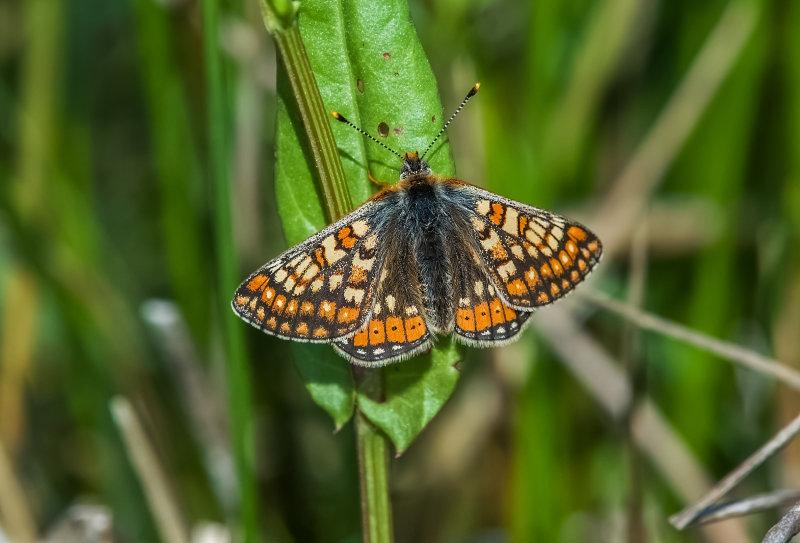 Marsh-Fritillary