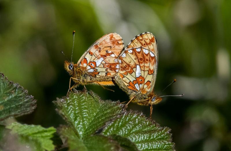 Pearl-bordered-Fritillary