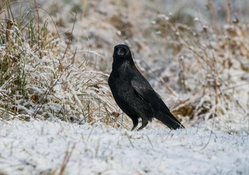 Carrion-Crow