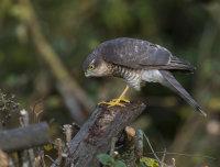 Sparrowhawk-juvenile