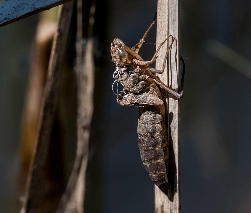 Dragonfly-Larval-Skin