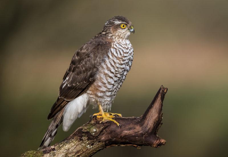 Sparrowhawk (f)