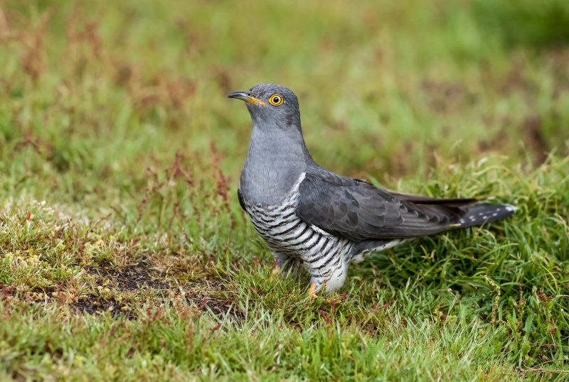 Cuckoo (m)