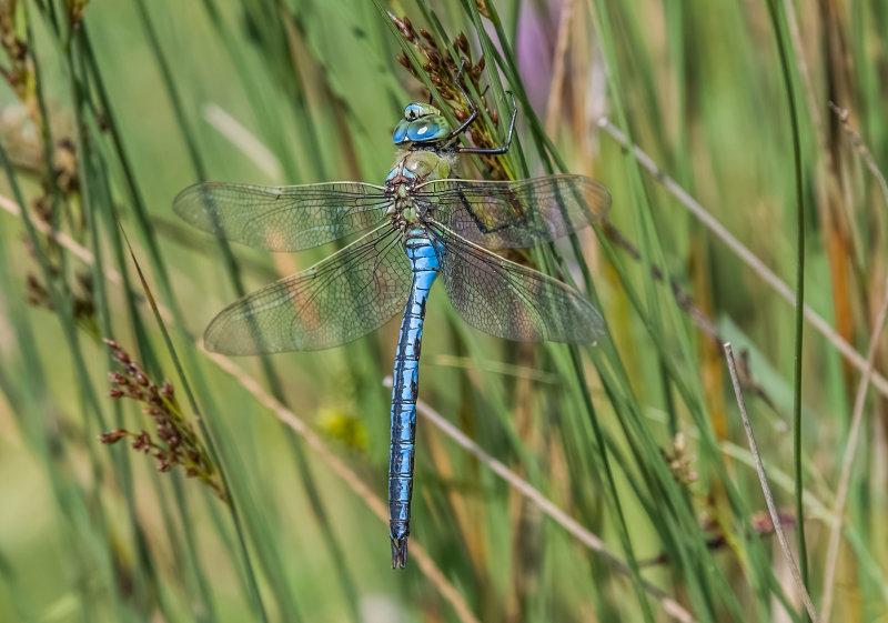 Emperor-Dragonfly (m)