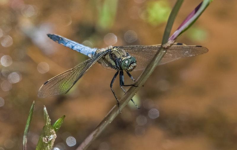 Black-tailed-Skimmer (m)
