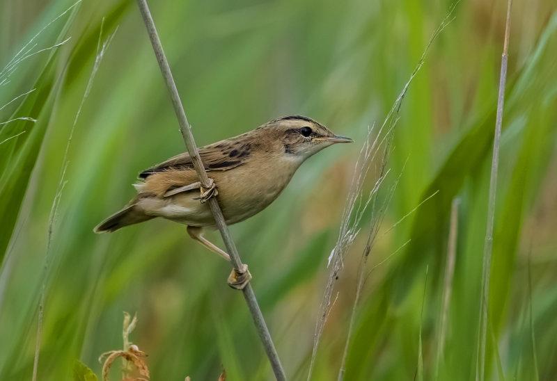 Sedge-Warbler (juv)
