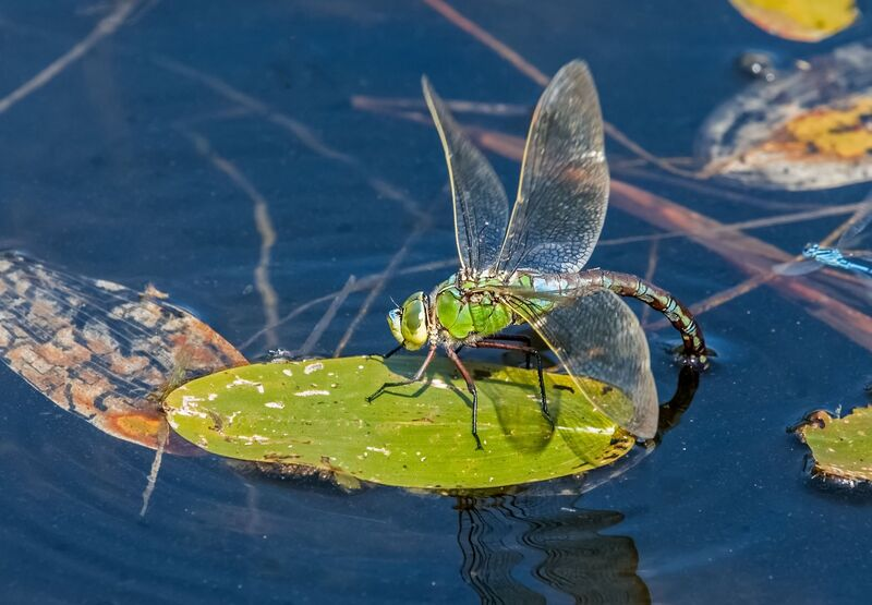 Emperor-Dragonfly (f)