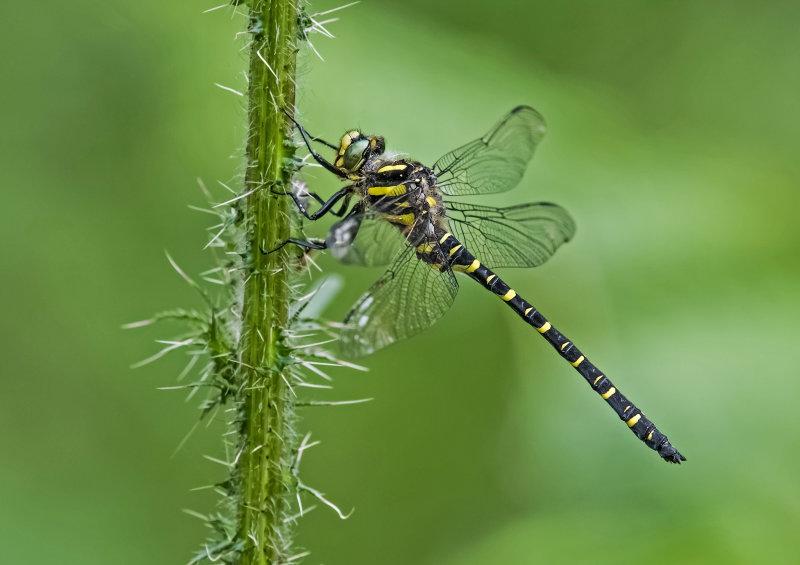 Golden-ringed-Dragonfly (m)