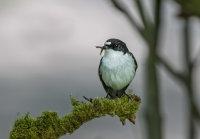 Pied-Flycatcher (m)