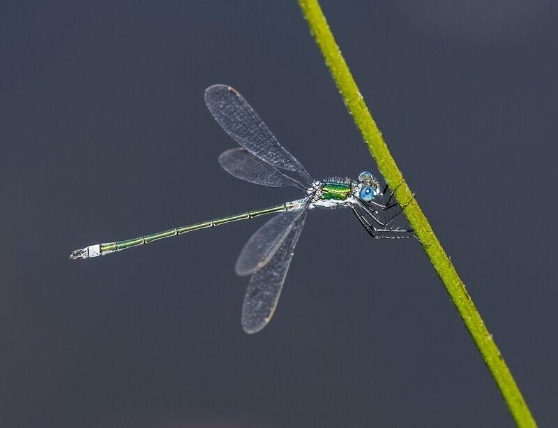 Emerald-Damselfly