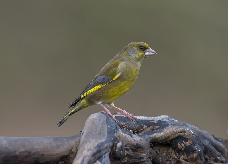 Greenfinch (m)