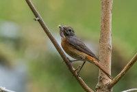 Redstart (f)