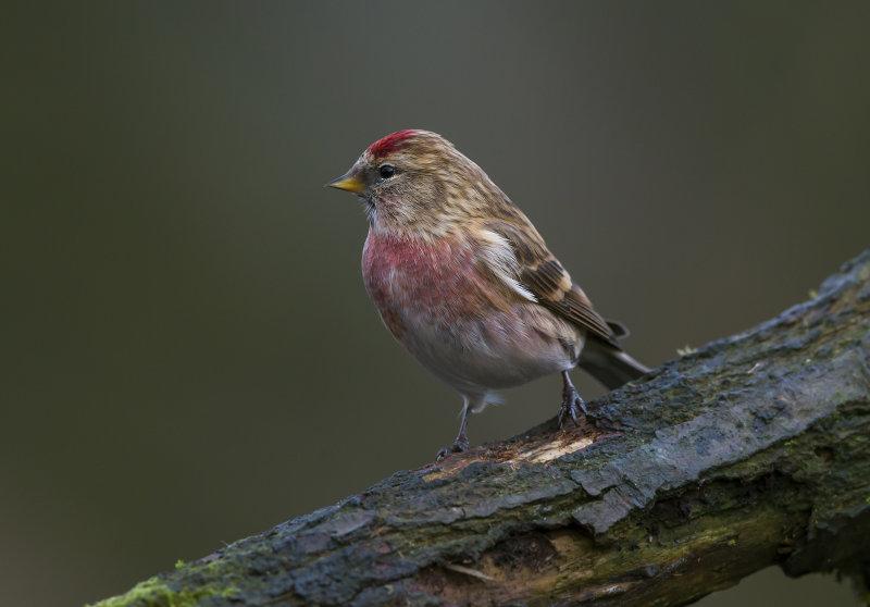Lesser-Redpoll (m)