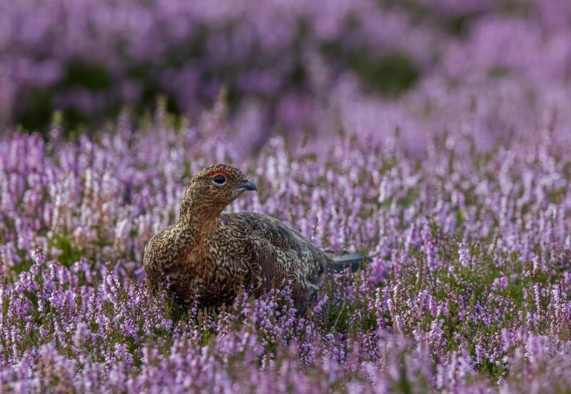 Red-Grouse (m)