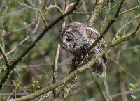 Tawny-Owl (m)