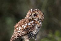 Tawny-Owl (f)