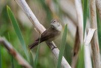 Garden-Warbler
