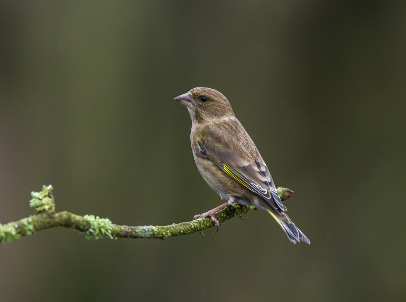 Greenfinch (f)