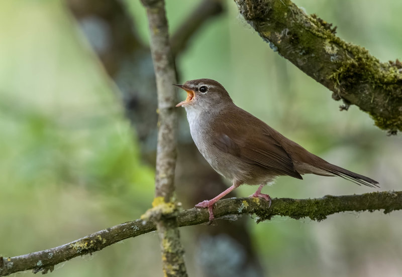 Cettis-Warbler (m)