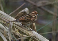 Reed-Bunting (f)