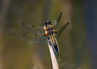Four-spotted-Chaser (m)