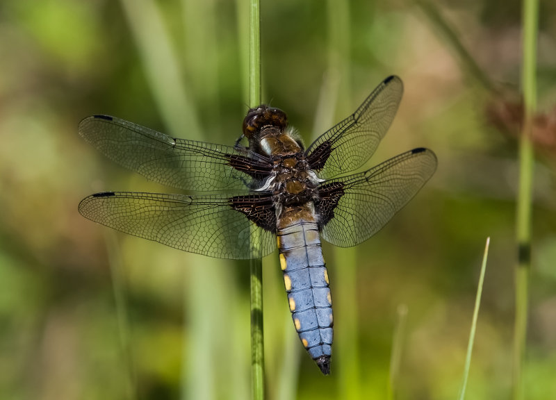 Broad-bodied-Chaser (m)