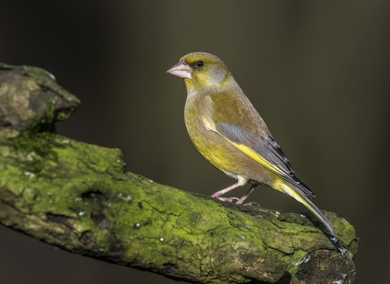 Greenfinch (m)