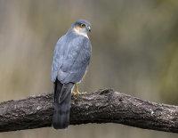 Sparrowhawk (m)