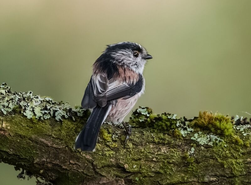 Long-tailed-Tit