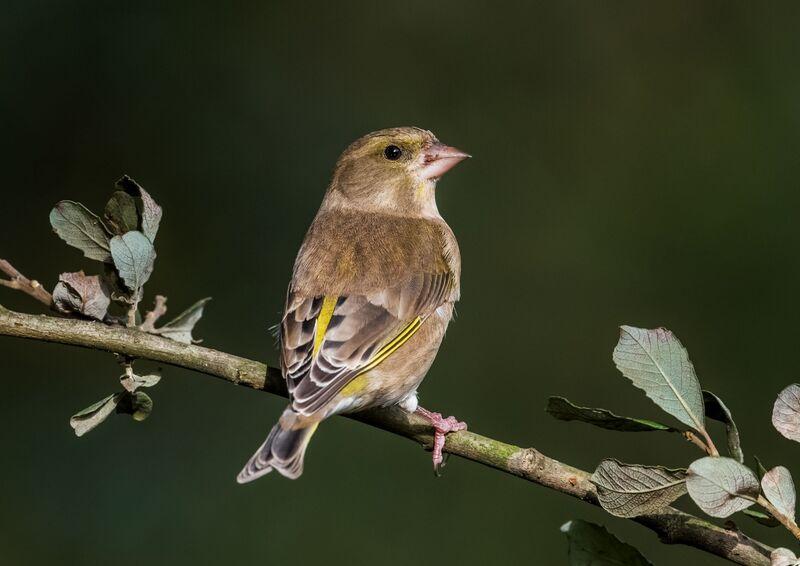 Greenfinch (f)