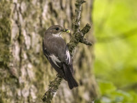 Pied-Flycatcher (f)