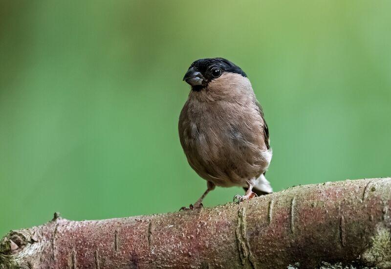 Bullfinch (f)