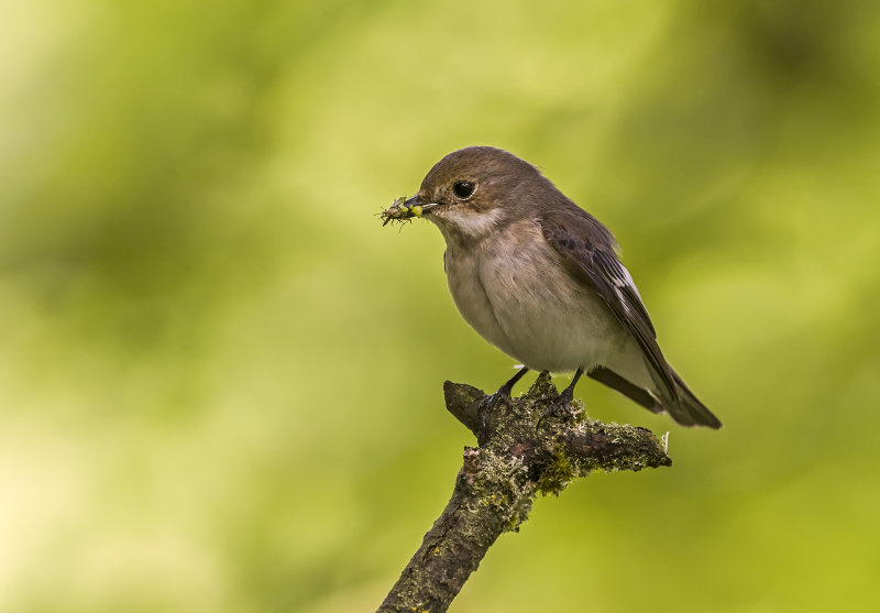 Pied-Flycatcher (f)